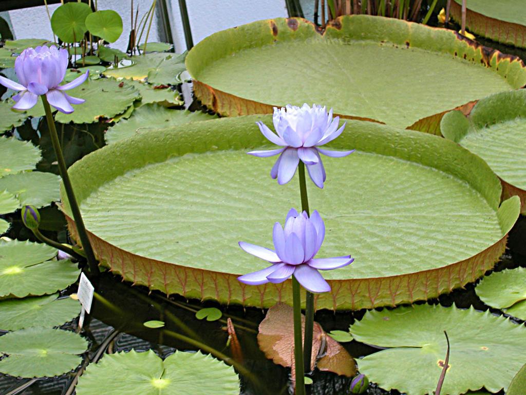 le lotus ou n nuphar le blog de michelotte. Black Bedroom Furniture Sets. Home Design Ideas